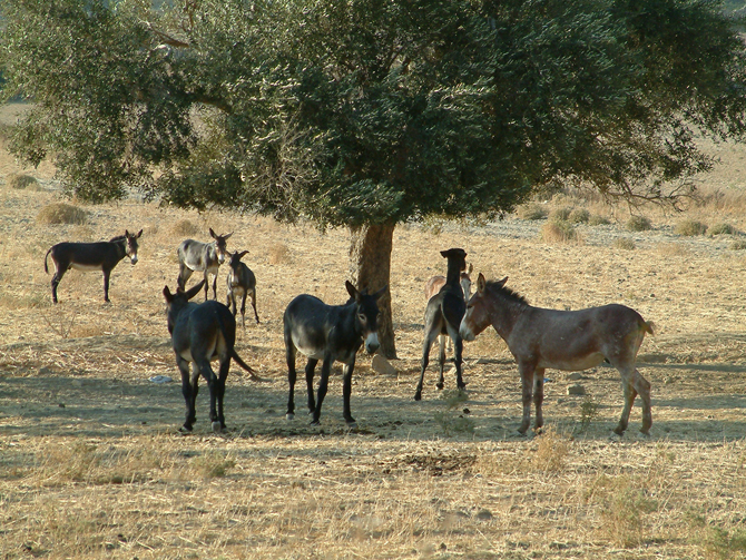Wild Donkeys, North Cyprus
