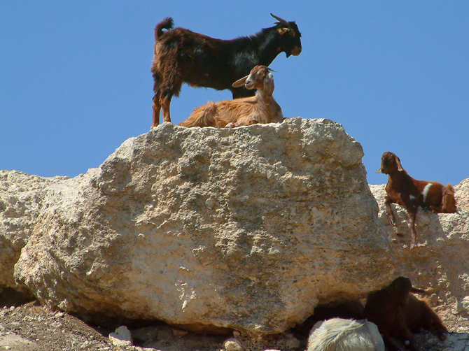 North Cyprus Fauna - Goats